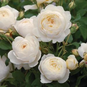 https://www.davidaustinroses.com/us/claire-austin-shrub-rose