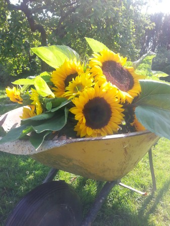 sunflowerwheelbarrow-bloomingmeadows16